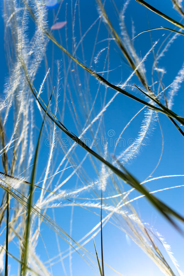 Free Feather Grass Royalty Free Stock Photo - 15293405