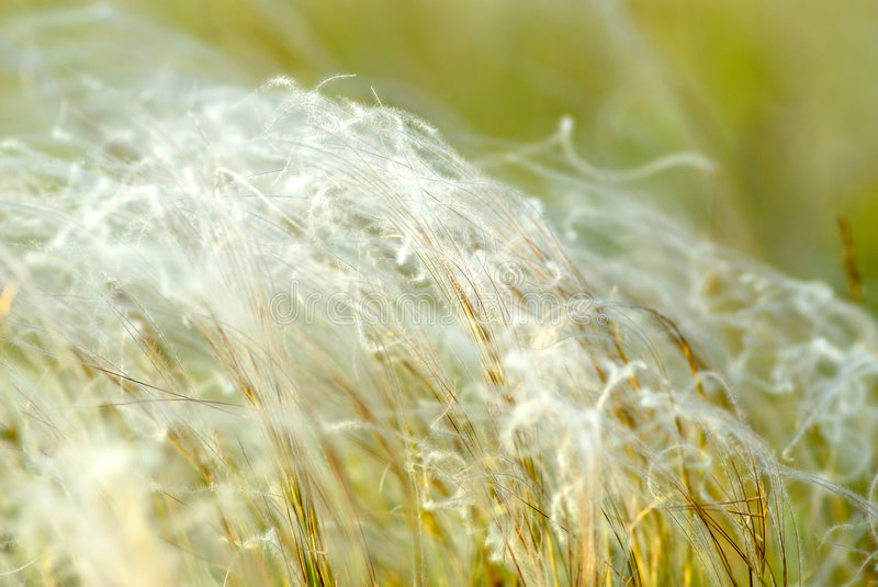 Feather-grass stock photos