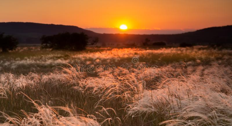 Feather grass field royalty free stock photos