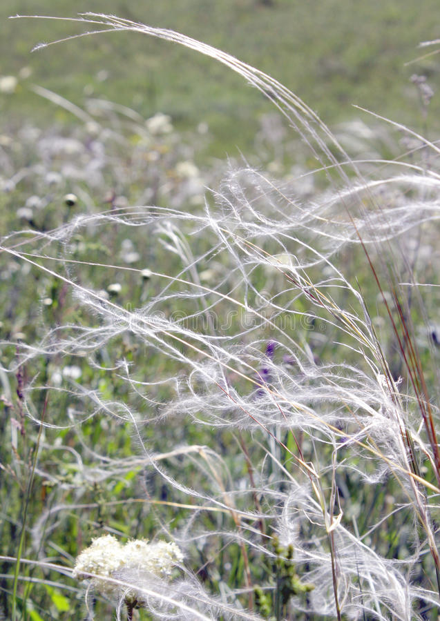 Feather grass on the field royalty free stock images