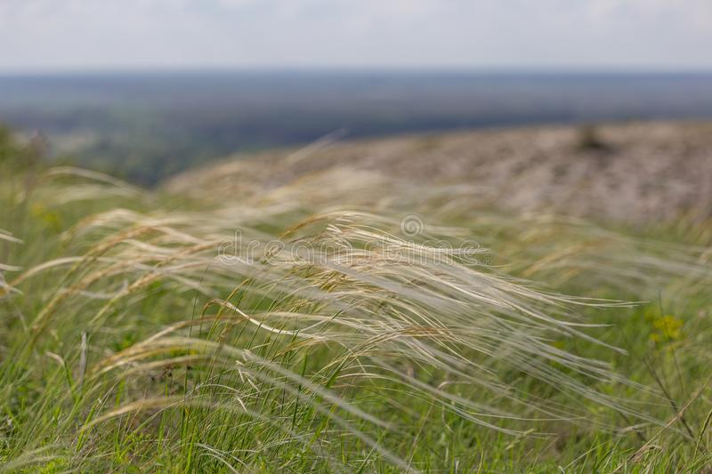 Feather grass is listed in the national red book. field with feather grass. Feather grass is listed in the red book. field with feather grass royalty free stock image