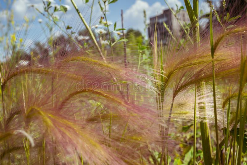 Feather grass on a meadow. Close-up sunny summer day stock images