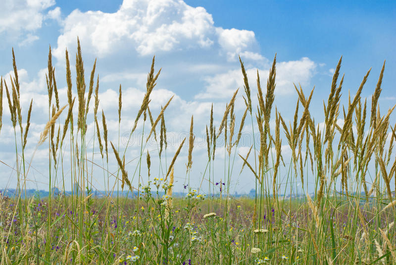 Feather grass and wild flowers stock image