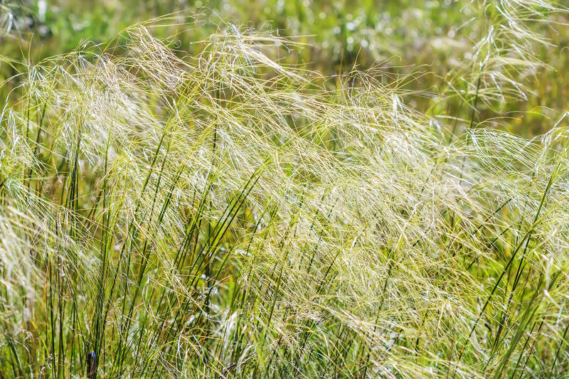 Download Feather Hairlike  Lat. Stipa Capillata Stock Photo - Image: 83705744