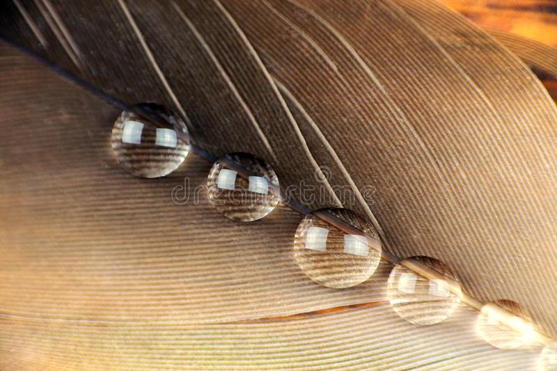 Feather macro. Beautiful Feather macro with transparent droplets royalty free stock image