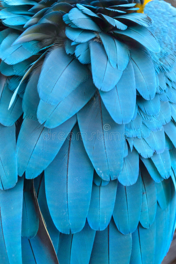 Free Feather Of A Blue Macaw Parrot. Stock Photo - 27611190