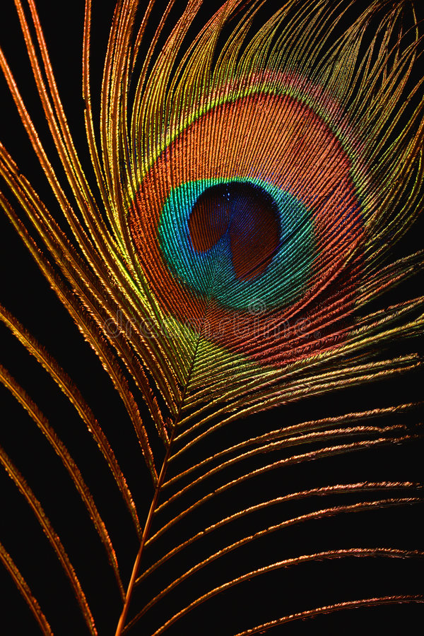 Free Feather Of The Firebird Royalty Free Stock Photography - 3485857
