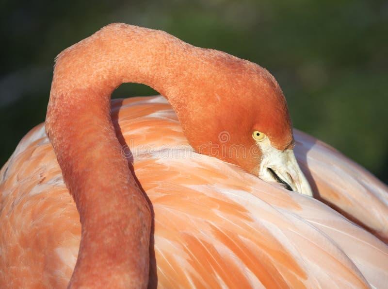Feather and peak neck. Phoenicopterus ruber, Caribbean Flamingo or Red Flamingo royalty free stock image