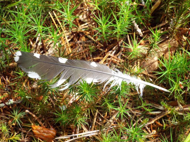 The feather of a woodpecker on the grass in the forest. On the green grass in the summer in the woods we found a bird feather was the feather of a woodpecker stock photos