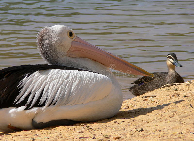 Feathered friends Pelican and Duck. stock images