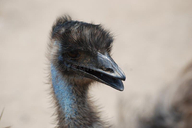 Feathered Head of a Blue Emu Bird stock photos
