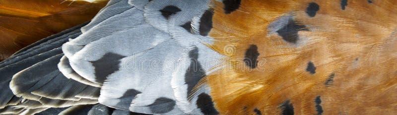 Feathers from a Bird of Prey - American Kestrel stock photos