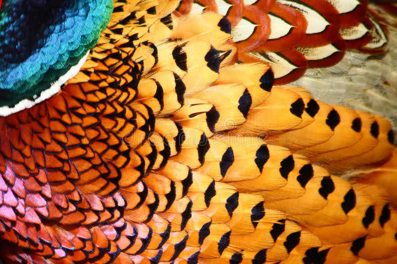 Feathers of Common Pheasant stock images