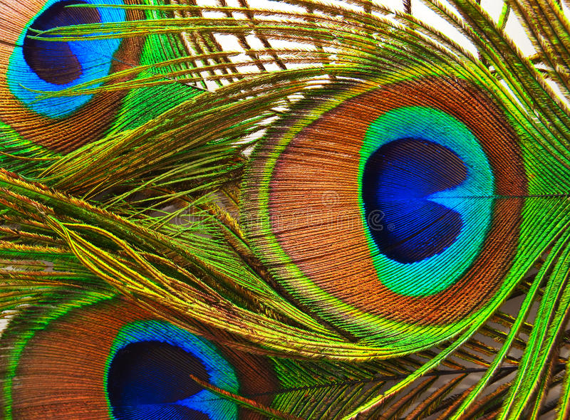 Feathers of a peacock close up royalty free stock photo
