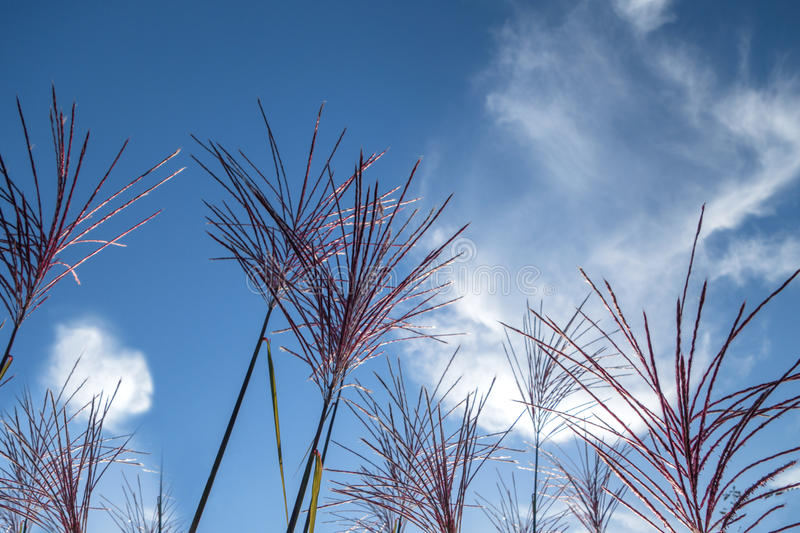 Feathery blossoms of ornamental grass Miscanthus sinensis. Close-up of feathery blossoms of the ornamental grass Miscanthus sinensis - Chinese reed Silver stock images