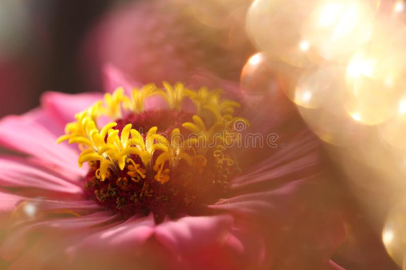 Dreamlike pink flower. Feature of dreamlike pink flower in sunny day in summer with light spheres royalty free stock image