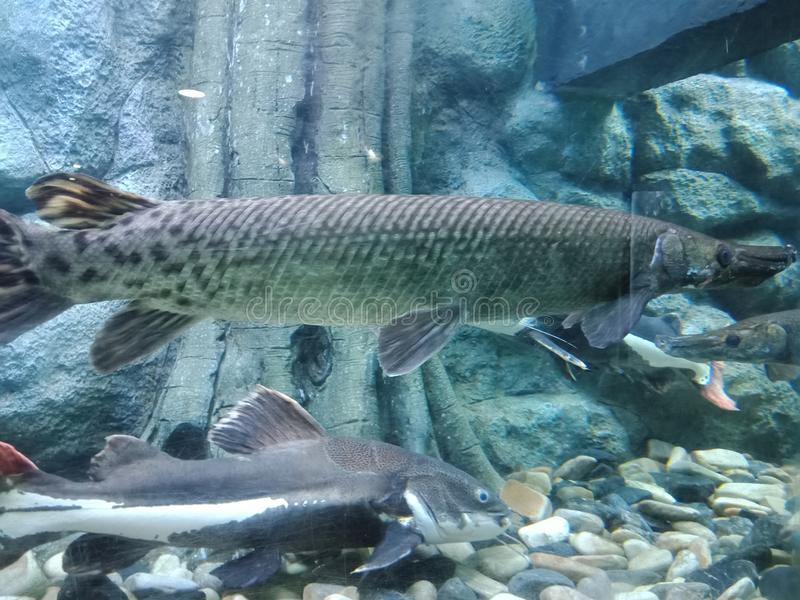 Alligator gar 1, Atractosteus spatula 1. Feature is the long mouth parts are similar to a crocodile or alligator. Round rack long black wind. Areas the outer stock images