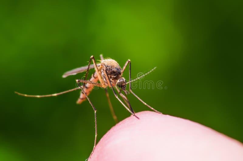 A febre amarela, a malária ou o vírus de Zika contaminaram o macro do inseto do mosquito no fundo verde imagens de stock