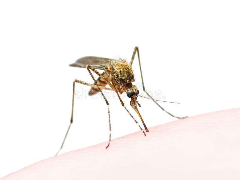 A febre amarela, a malária ou o vírus de Zika contaminaram a mordida de inseto do mosquito isolada no branco imagem de stock
