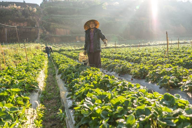 10 Februari Dalat- 2017 de vietnamesiska kvinnlina som skördar jordgubben på deras lantgård, under solljuset, rays på bakgrund royaltyfri bild