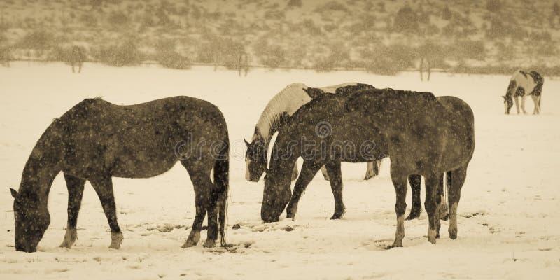 FEBRUARI 14, 2019 - den COLORADO UTAH GRÄNSEN USA - beta västra hästar i snöstorm royaltyfri foto