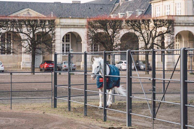 Februari 20, 2019 denmark copenhagen Utbildande förbikopplingsanpassning av en häst i det kungliga stallet av slotten Christiansb arkivbild