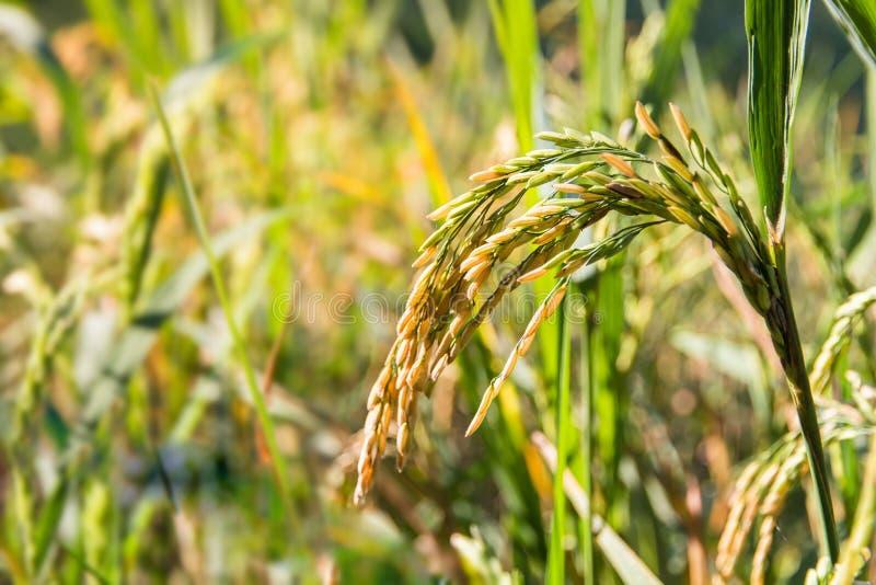 Fechado acima do arroz de amadurecimento em um campo de almofada com luz do sol, um sel foto de stock