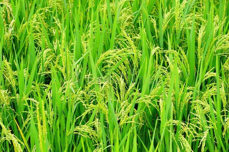 Fechado acima do campo do arroz da cor verde foto de stock