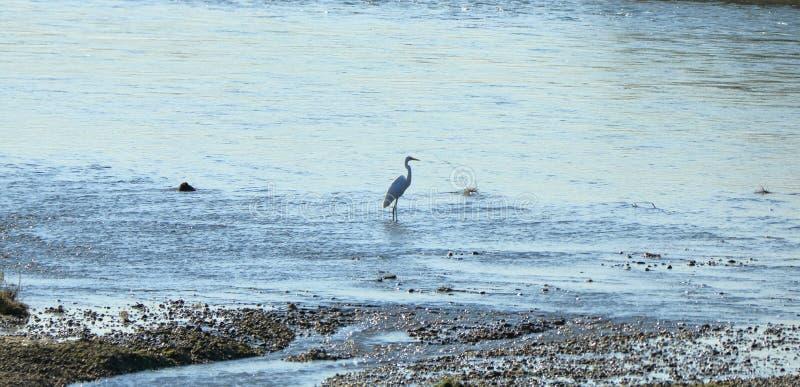 Fechado acima do pássaro de costa no rio, intermedia intermediário da área do egret, Nepal foto de stock royalty free