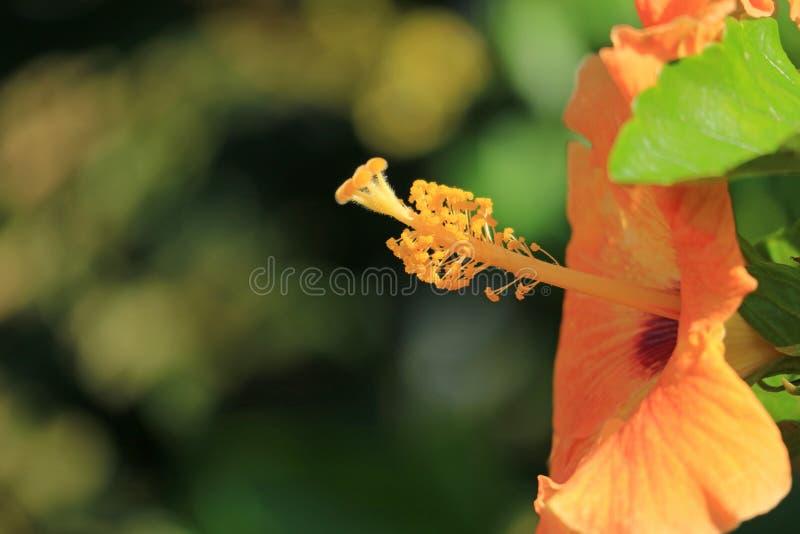 Fechado acima do pólen do hibiscus alaranjado da cor na luz solar, Ilha de Páscoa, o Chile imagens de stock royalty free