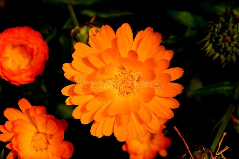 Fechado acima dos officinalis do Calendula do cravo-de-defunto imagens de stock royalty free