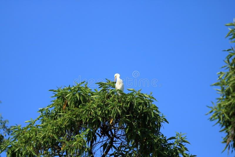 Fechado acima dos pássaros do pássaro de costa em uma árvore, intermedia intermediário da área do egret, Nepal fotografia de stock
