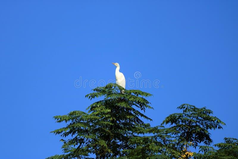 Fechado acima dos pássaros do pássaro de costa em uma árvore, intermedia intermediário da área do egret, Nepal imagem de stock