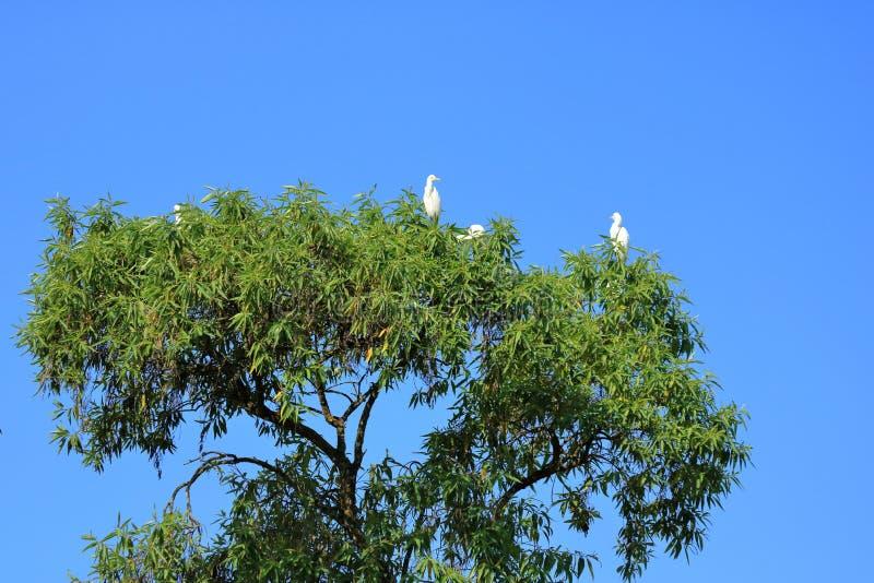Fechado acima dos pássaros do pássaro de costa em uma árvore, intermedia intermediário da área do egret, Nepal imagens de stock