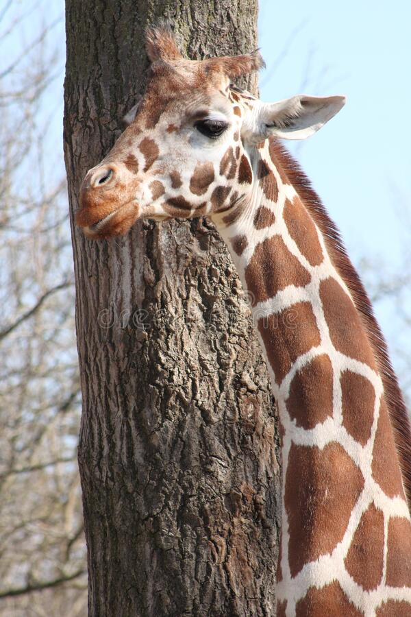 Fechamento de Girafa em Frente à Árvore fotos de stock