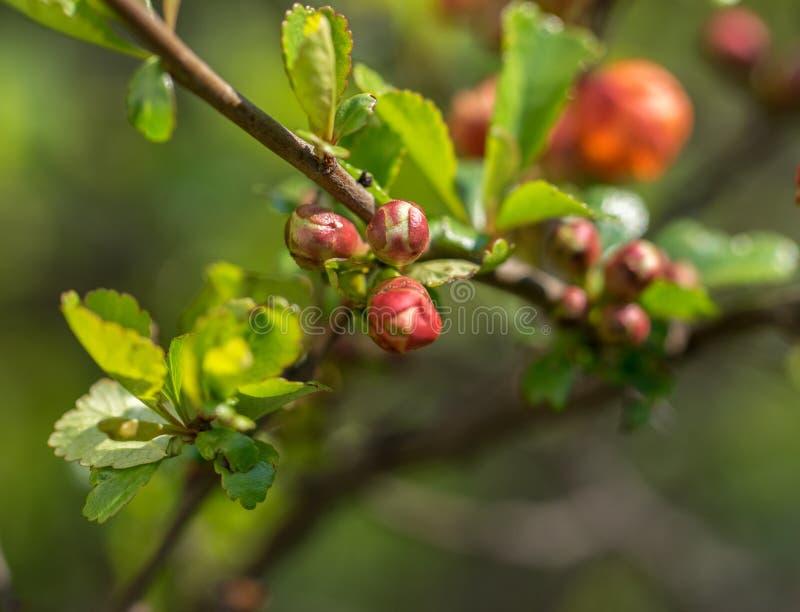 Fechamento de um galho de zidonia com botões florescentes num dia ensolarado de primavera imagem de stock royalty free