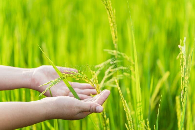 fechamento do agricultor& x27;s mantendo arroz verde nos campos Cultura asiática ou cultura do arroz imagem de stock royalty free