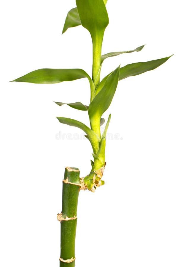Fechamento do Bambu Stalk foto de stock royalty free