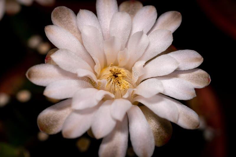 Fechar a foto de cactus com fundo escuro imagem de stock