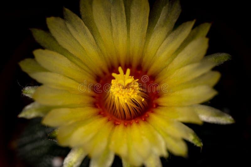 Fechar a foto de cactus com fundo escuro fotografia de stock royalty free