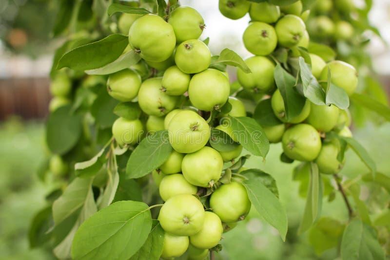 Fechar grupo de pequenas maçãs verdes penduradas em um galho em Orchard em foco seletivo imagem de stock royalty free