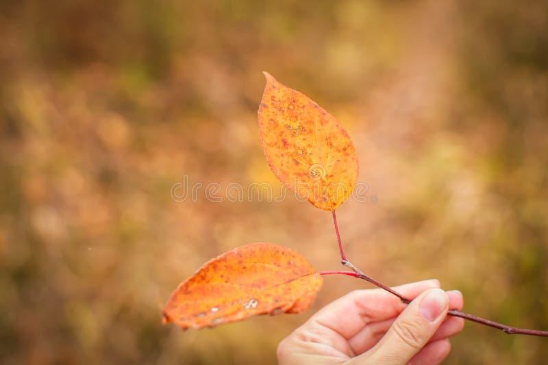 Fechar a mão feminina segura um galho com folhas laranja retidas no foco seletivo, pano de fundo do outono fotografia de stock