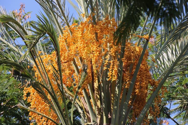 Fechas florecientes de la palma tres imagen de archivo
