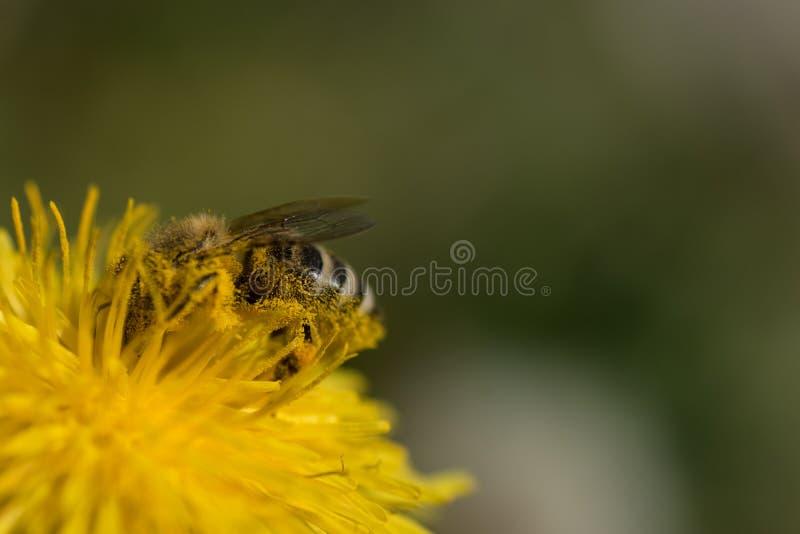 Feche a abelha macro e o dandelion Flor amarela no prado Colecção de pólen para mel fotografia de stock