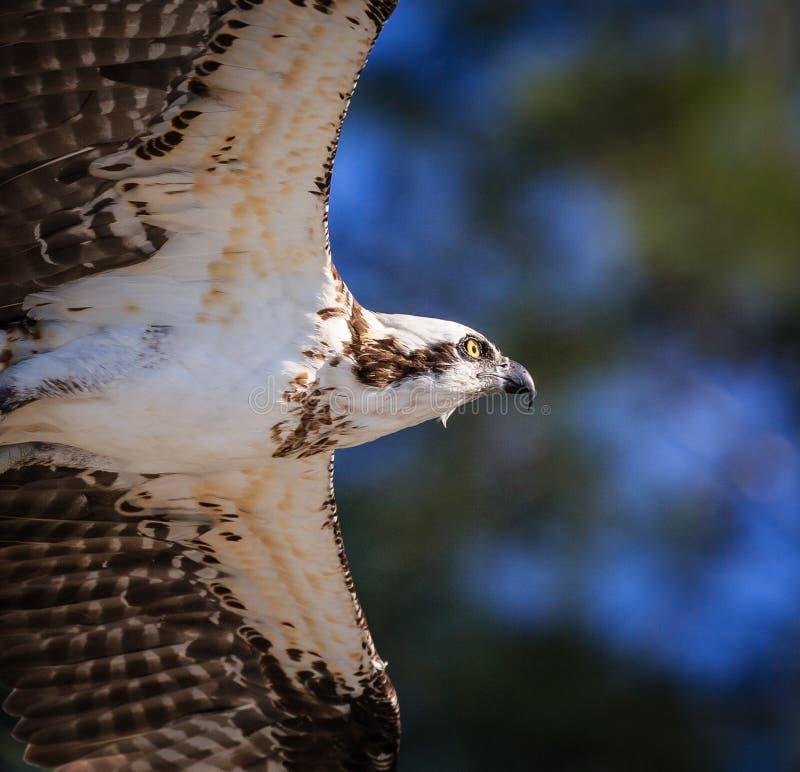 Feche acima da águia pescadora nova fotos de stock