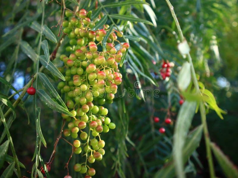 Feche acima da árvore de pimenta com frutos verdes e cor-de-rosa fotografia de stock