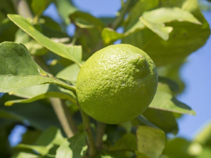 Feche acima da árvore do cal ou de limão, citrino aurantifolia no branche da árvore Cais e folha da opinião da natureza no borrad imagem de stock royalty free