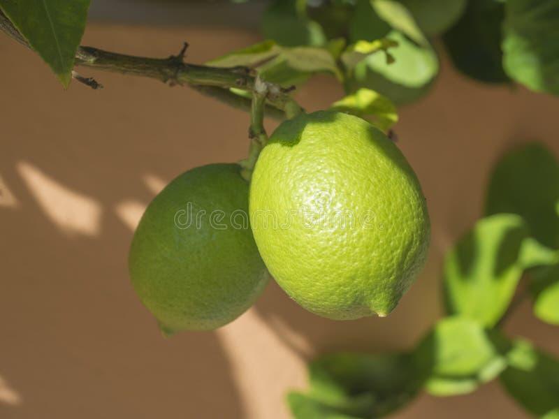 Feche acima da árvore do cal ou de limão, citrino aurantifolia no branche da árvore Cais e folhas da opinião da natureza no fundo fotos de stock