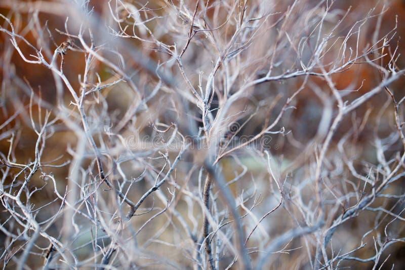 Feche acima da árvore seca do ramo, textura macro de um arbusto seco cinzento foto de stock royalty free