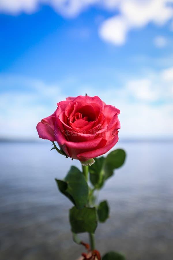 Feche acima da única rosa vermelha contra o fundo da praia e do céu azul fotografia de stock